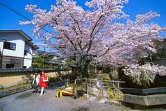 桜 cherry blossom @ Kyoto