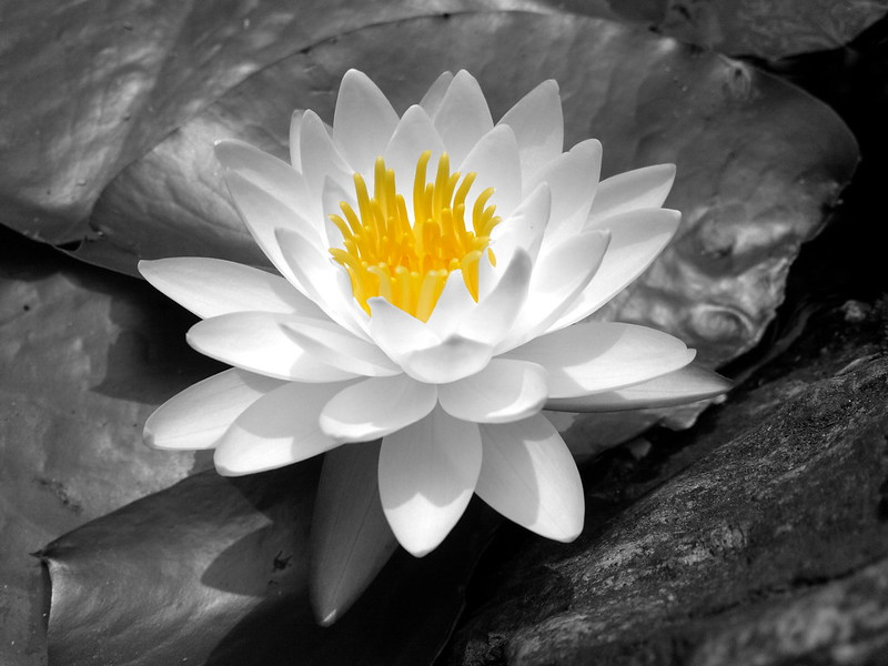 white water lily at the Jeongdok library in Seoul