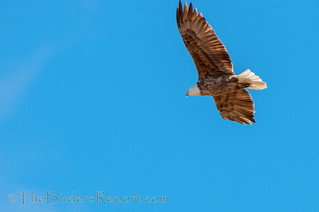 Bald Eagle Leucistic | by TheBirdersReport.com