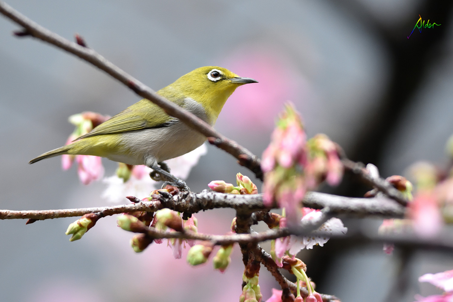 Sakura_White-eye_7779