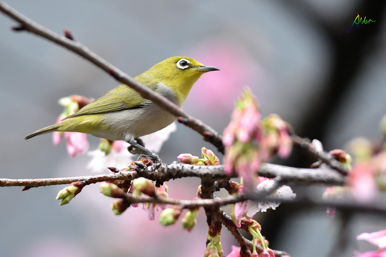 Sakura_White-eye_7779