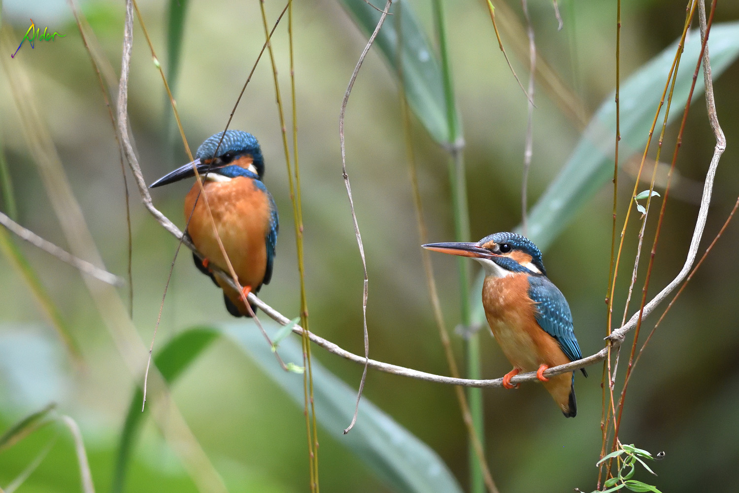 Commom_Kingfisher_8307