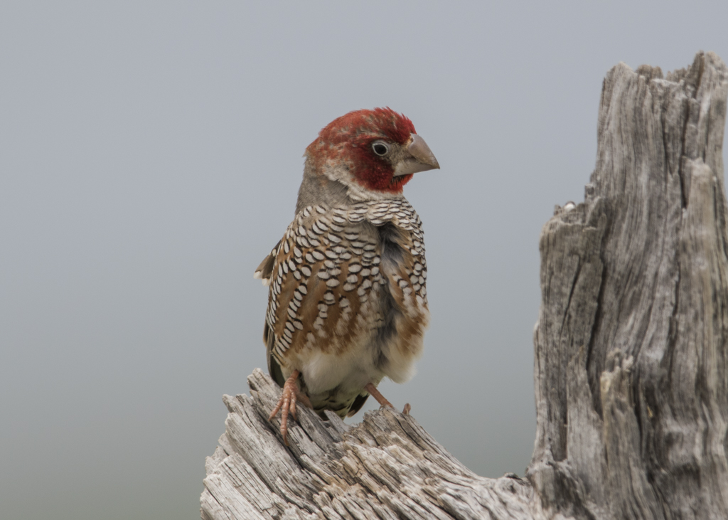 Red-headed Finch   Sporopipes Squamifrons