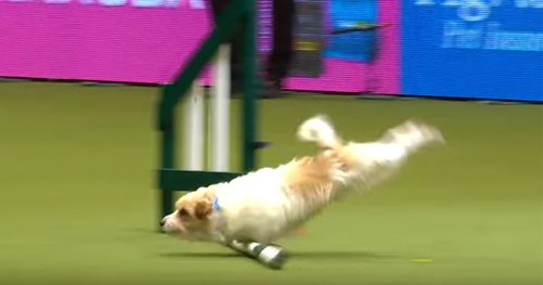Olly-Jack-Russell-Crufts-Nose-Dive.jpg.600x315_q80_crop-smart