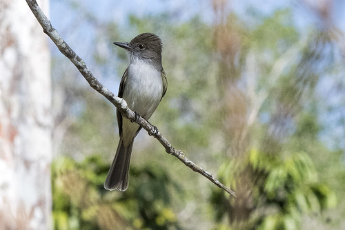 Cuba: La Sagra's Flycatcher 1