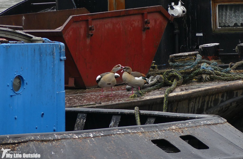P1060619 - Egyptian Goose, London