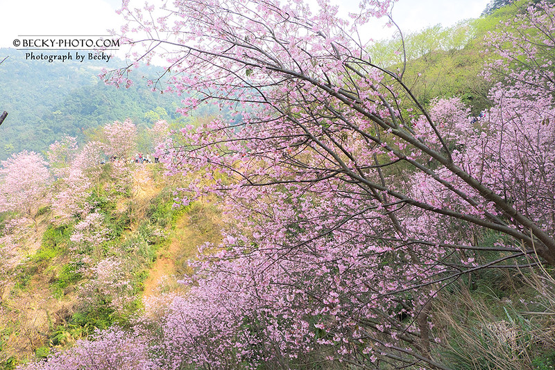 2017.Mar sakura @Sanxia, Taiwan三峽熊空櫻花
