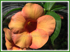 Gorgeous flowers of Allamanda cathartica cv. Indonesia Sunset (Peach-coloured Allamanda), 4 Nov 2007