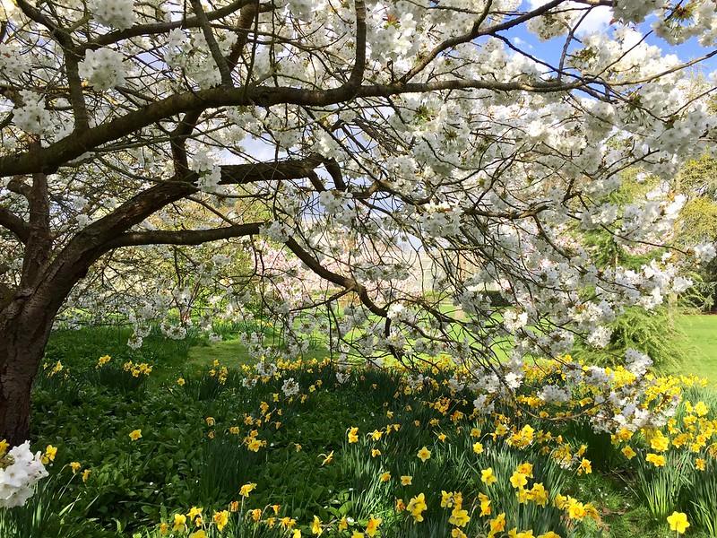 Kew Gardens cherry blossom 2017
