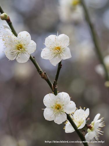 Ume blossoms 20170304 #04