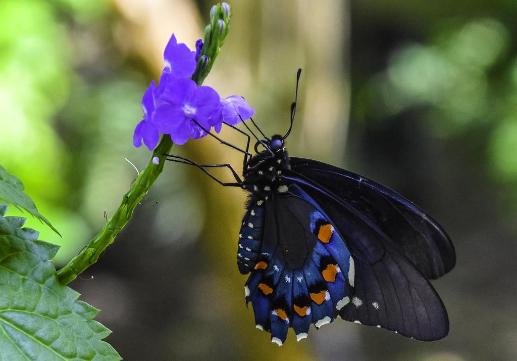 Resultado de imagen de pipevine swallowtail
