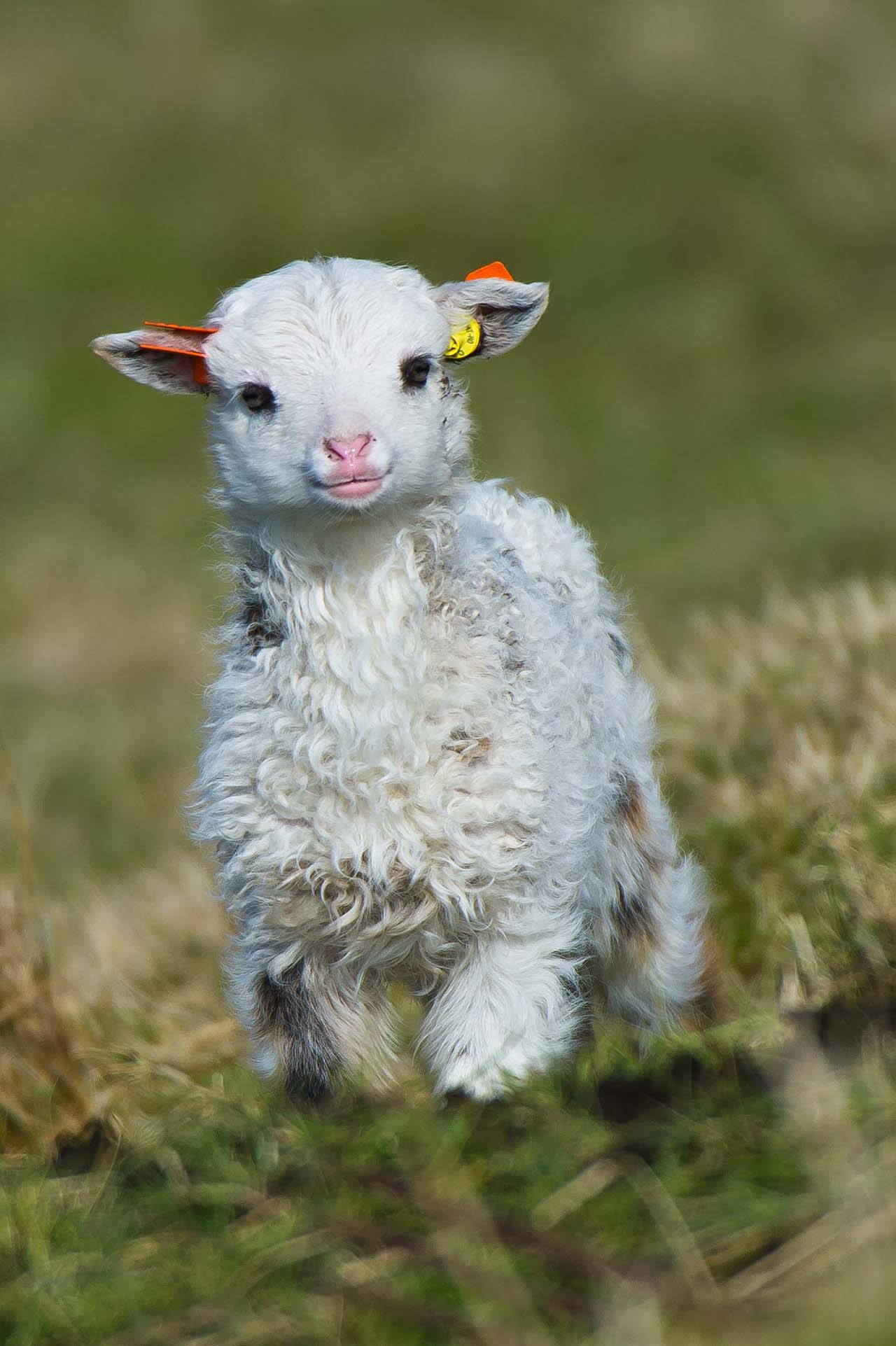 27 Adorable & Tiny Animals That Are Too Cute To Handle #1: Lamb
