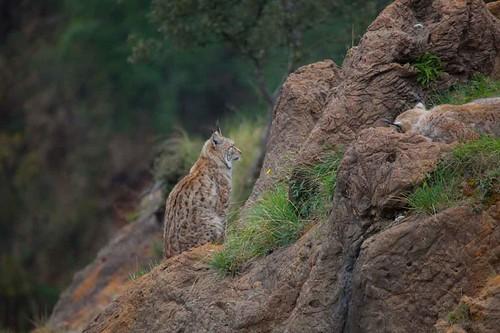 Lince , Parque de la Naturaleza de Cabárceno #DePaseoConLarri #Flickr -5749