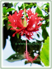 Hibiscus schizopetalus (Japanese Lantern, Japaneses Hibiscus, Fringed Rosemallow, Coral/Spider Hibiscus) with its fiery red flower, 9 Nov 2011