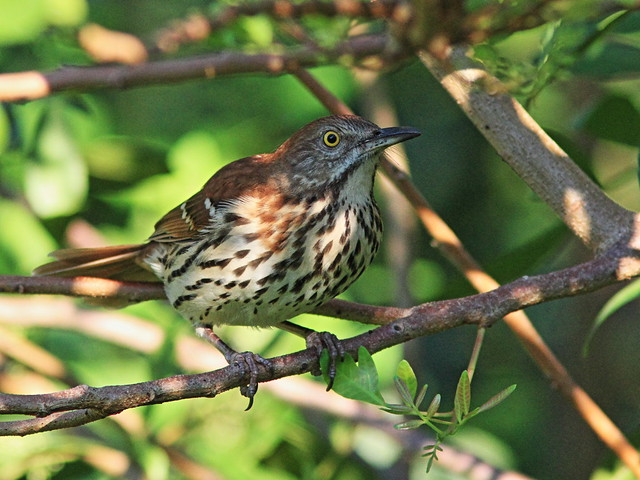 Brown Thrasher 20131014