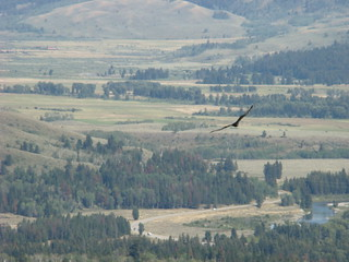 43 Vogel - Turkey Vulture