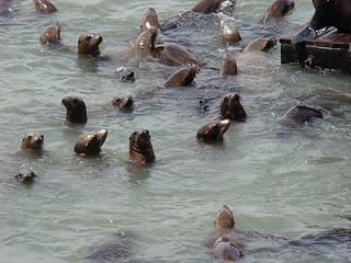 054 Zeeleeuwen bij Pier 39