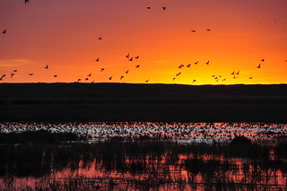 Mallards pile into Lacreek NWR at Sunset | by USFWS Mountain Prairie