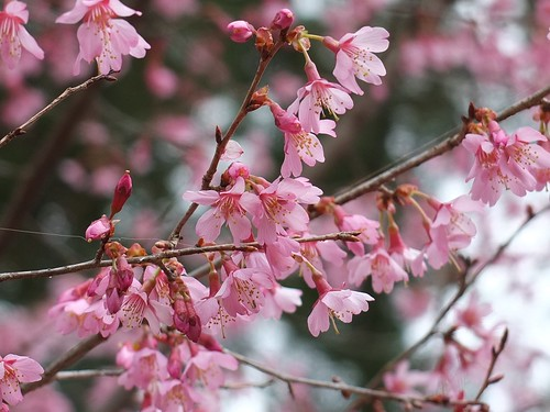 コヒガン桜