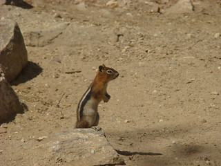 29 Eekhoorn - golden mantled ground squirrel