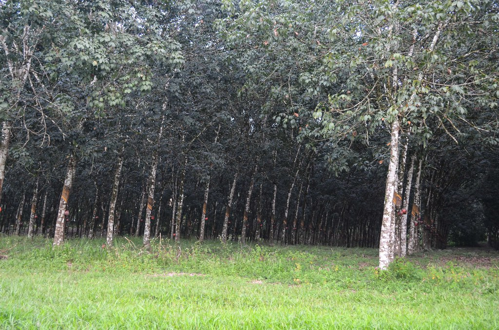 Image result for rubber plantation liberia