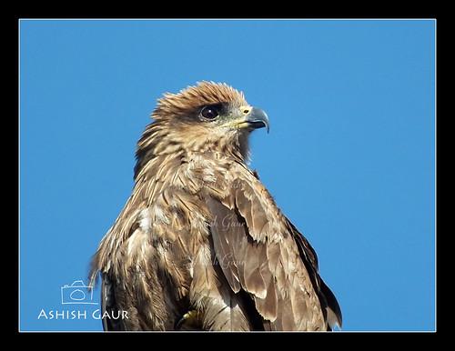 2 365 Day 2 Cheel Pariah Kite Bird Cheel Pariah