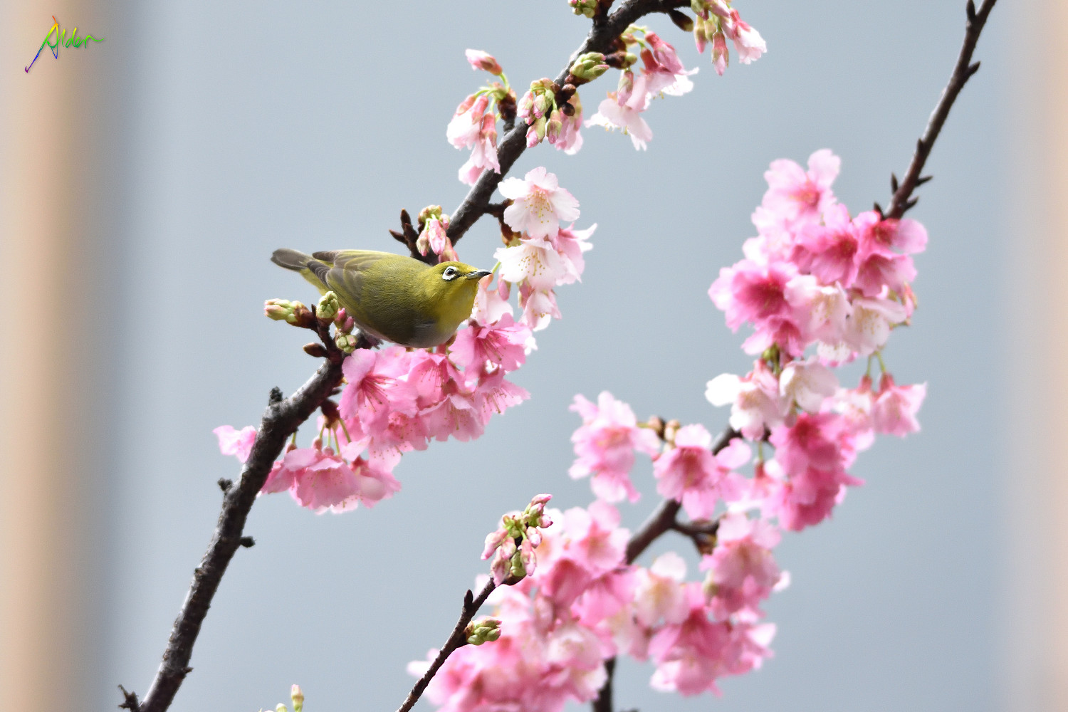 Sakura_White-eye_8010