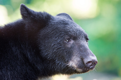 Wild Black Bear at Anan Bear Observatory | by AER Wilmington DE