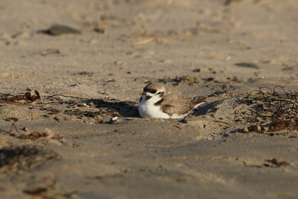 GOLETA, Calif. (Jan. 19, 2017) A Western snowy plover at Sands Beach at Coal Oil Point Reserve on the University of California Santa Barbara campus. The Pacific coast population of the Western snowy plover makes its home along North America's western coas