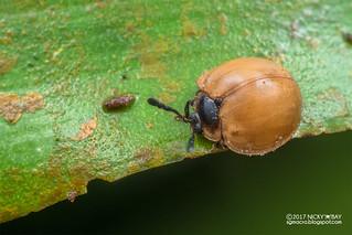 Handsome fungus beetle (Cyclotoma sumatrensis) - DSC_1692