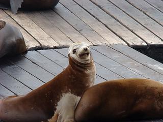 017 Zeeleeuwen bij Pier 39