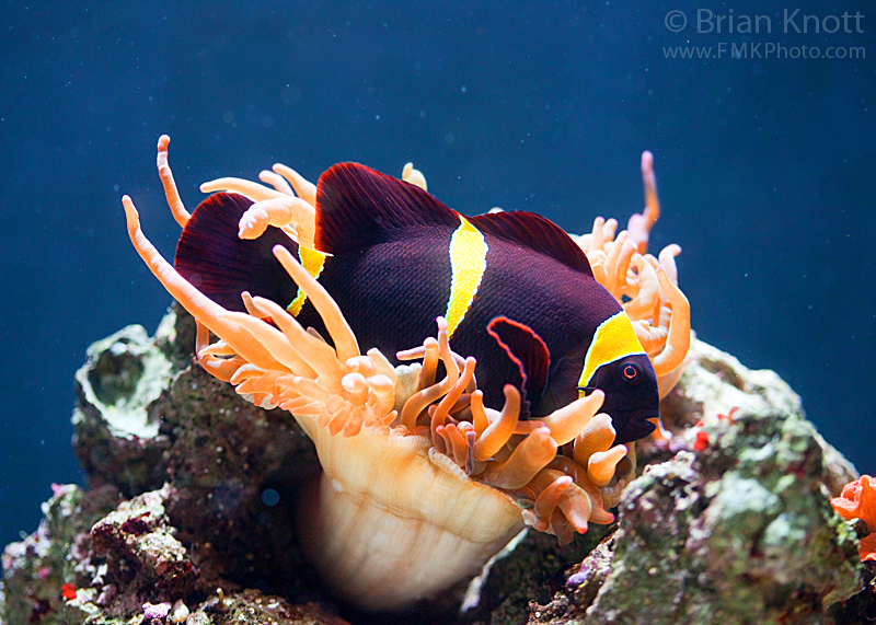 Maroon Clownfish | Maroon Clownfish In Sea Anemone C All Rights Reserved Maro Flickr