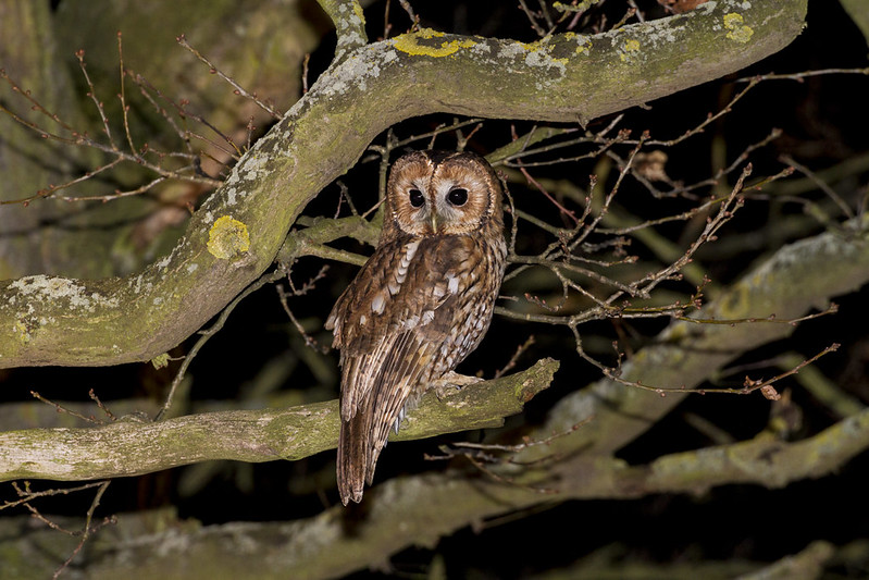 Tawny Owl, Cardington, 24th Feb 2017