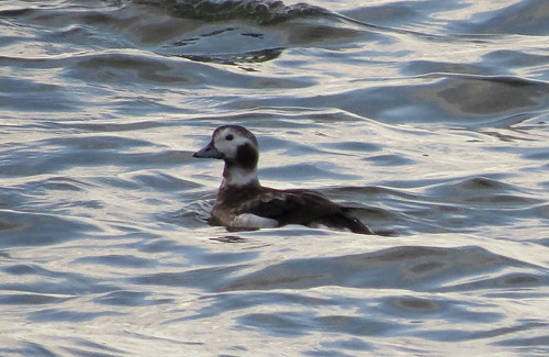 Long-tailed Duck Clangula hyema Tophill Low NR, East Yorkshire March 2017