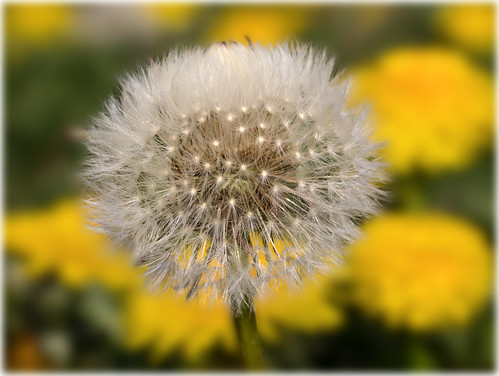 contemporary dandelion head floral - photo #14