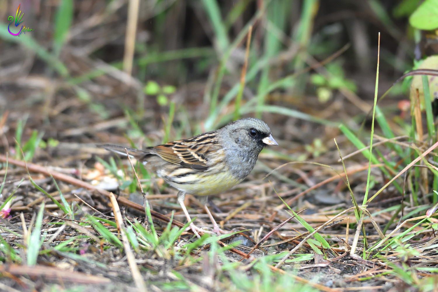 Black-faced_Bunting_7543