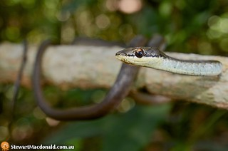 Northern tree snake (Dendrelaphis calligastra) | by Stewart Macdonald