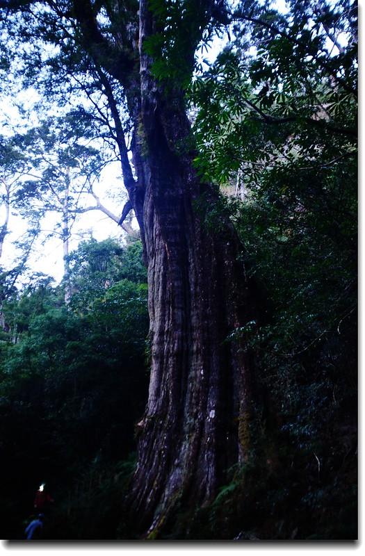 紅檜神木 1