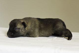 Nami-Litter1-Day10-Puppy2-Male-3 | by brada1878