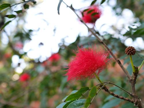 オオベニゴウカン(大紅合歓)の赤い花とつぼみ