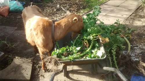 goats eating sprouts Mar 17 1