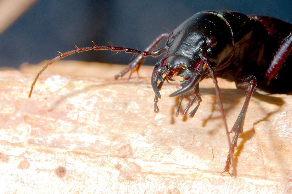 Giant Tiger Beetles (Amblycheila cylindriformis)
