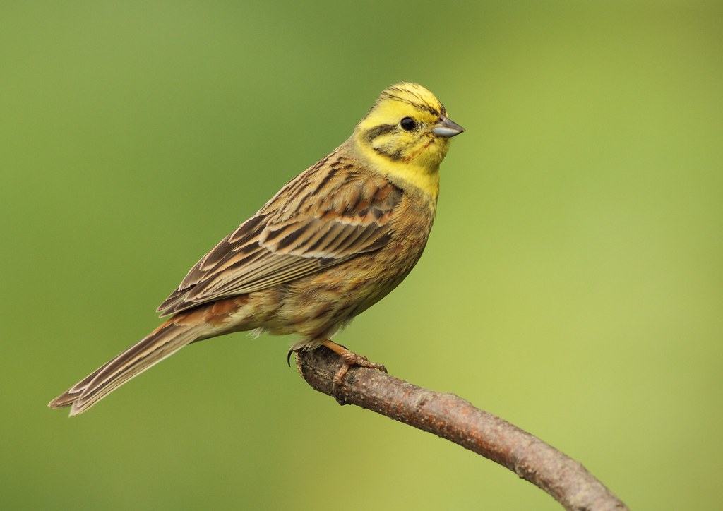 yellowhammer these were taken at great barton with no crop flickr