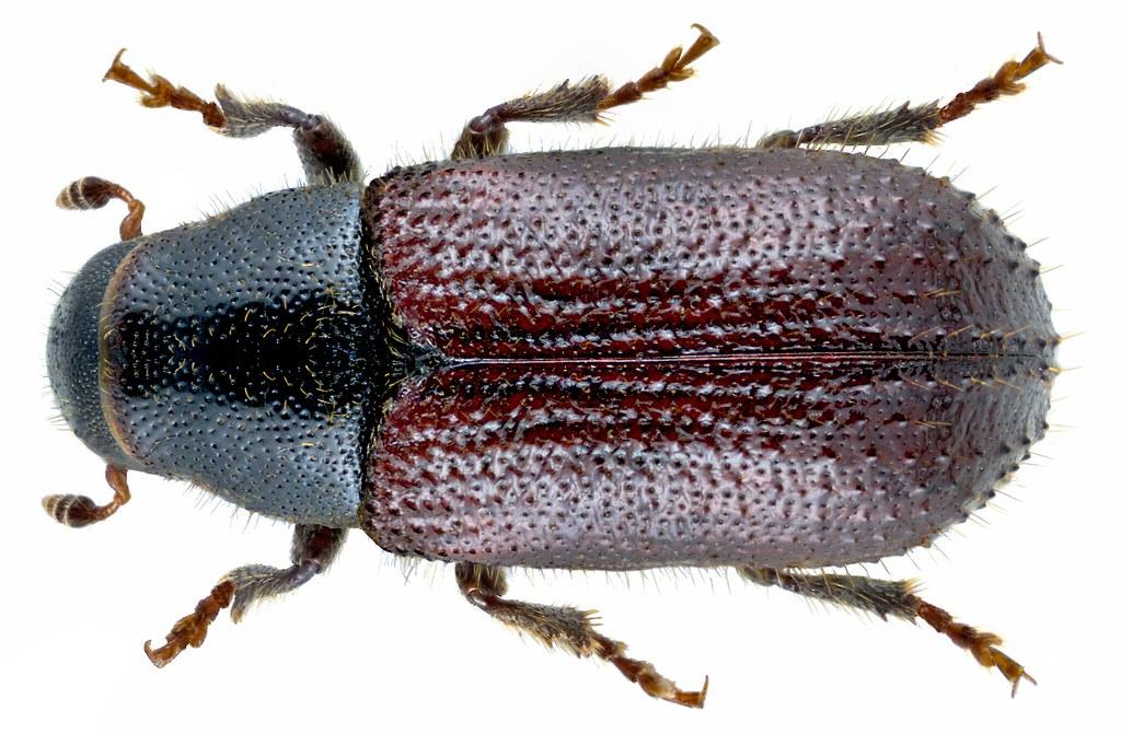 Tomicus piniperda (Linné, 1758) Syn.: Blastophagus piniperda (Linné, 1758)