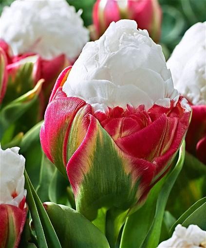 ce cream tulips