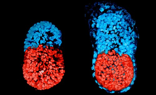 mouse-embryos-full