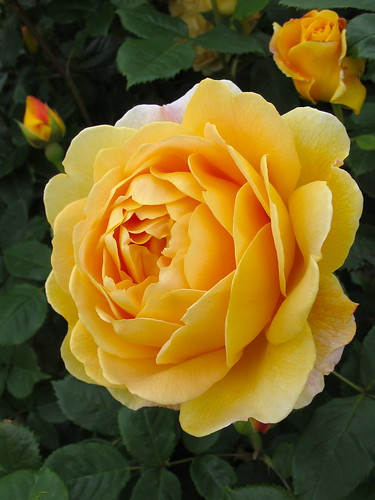 golden celebration rose yellow rose with large scented. Black Bedroom Furniture Sets. Home Design Ideas