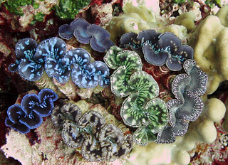 Both Palmyra Atoll and Kingman Reef National Wildlife Refuge are home to rare giant clams.   Photo credit:  Amanda Pollock / USFWS | by USFWS Pacific