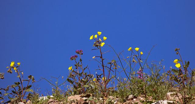 Poppy-8-7D2-030917