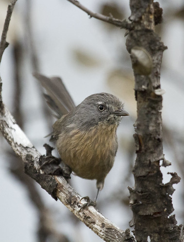 Wrentit | by christopheradler